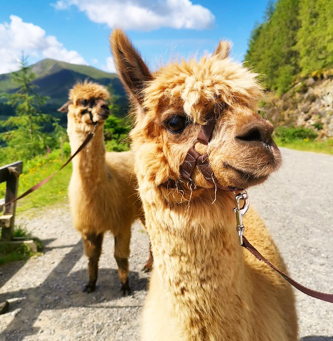 alpacaly ever after 9